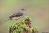 Northern Waterthrush (Daniel Cadieux) Tags: waterthrush northernwaterthrush warbler moss lichen mossyperch forest woods