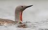 Red-throated Loon (Gavia stellata) - BC (bcbirdergirl) Tags: gaviastellata redthroatedloon loon rare breeding breedingplumaged bc