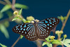 Blue Glassy Tiger - Ideopsis similis (Explored) (Changer4Ever) Tags: 旖斑蝶 ideopsissimilis nikon d750 butterfly animal insect life nature outdoor color colorful flowers bokeh dof depthoffield 微距 蝴蝶 花 7003000mmf4056 blueglassytiger