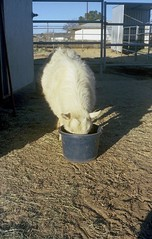 Simple Pleasures (squirtiesdad) Tags: animal goat breakfast feed bucket firenze diyfilmscanning selfdeveloped epson v600 petri 7s rangefinder analogue analog kodak ektar iso100 color negative film 35mm fpp c41