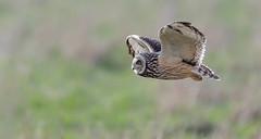 Short Eared Owl (irelaia) Tags: short eared owl wild cotswolds bird hunting flight