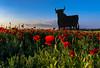 AMAPOLAS (javier hernandez sanchez) Tags: poppies amapolas sagra toledo cabañas