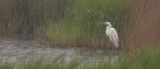 Great white egret by Linda Nicholson