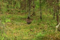 Mountain Hare_2018_06_05_0001m1 (FarmerJohnn) Tags: jänis metsäjänis hare intheforest metsässä animals wildanimals kesä summer metsä forest canon canoneos5dmarkiii canonef2410540lisusm valkola laukaa finland juhanianttonen