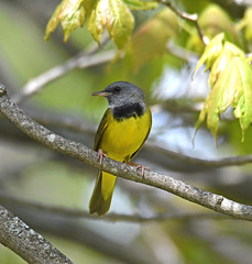 Mourning Warbler (Digital Plume Hunter) Tags: