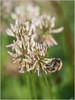 Dame de trefle (JB89100) Tags: 2018 abeille insectes stmartindt ou quoi