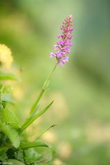 the most dominant orchid (Tschissl) Tags: orchideen leobenumgebung austria orchids pflanzen location blumen orchid steiermark flowers österreich