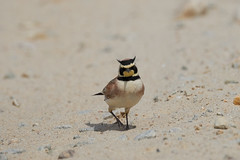 Male Horned Lark (Vinchel) Tags: usa massachusetts duxbury beach wildlife animal bird fuji xt2 100400mm sand rock road
