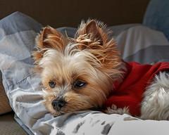 "Pet dog yorkie ""santa"" (shinichiro*) Tags: 20180527sdim3351 2018 crazyshin sigmasdquattroh sdqh sigma1770mmf284dcmacrohsm fuji japan spring may dog yorkie ヨークシャテリア santa 27899929177 3360183 201808gettyuploadesp"