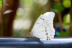 Pieridae (KPPG) Tags: butterfly 7dwf closeup insekt insect schmetterling bokeh cof035mari cof035meu cof035dmnq