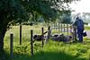 farmer (ehulshof) Tags: farmer nature sheep natuur boer landschap holland netherlands landscape grass animal summer zomer schaap schapen