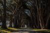 Cypress Tree Tunnel (Chris Steelman (Schwabacher)) Tags: tree cypress tunnel california point reyes