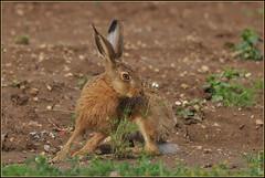 N° 987 / Lièvre d'Europe ( Lepus europaeus ) Focus Distance : 10.0 m (Norbert Lefevre) Tags: gibier lièvre chasse nikon d300s 300mmf4