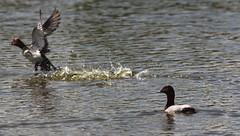 Distanza (lincerosso) Tags: uccelli birds moriglione aythyaferina pericolo bellezza armonia vallevecchia caorle distanzadisicurezza
