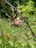 606 (yakfur) Tags: wv farm spider eggs mercercounty westvirginia
