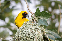 Southern Masked Weaver (Birds Of Amsterdam) Tags: masked weaver bird wildlife nest