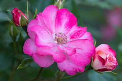 Triple (Martin-Fused) Tags: bloom blur bud floral flower garden home light nature opening outdoors petal pink pinkwhite plant red rose uk white