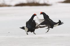 20180504-_PHE0727 (drix82) Tags: 150600 actie blackgrouse dieren dierengevechten finland hanengevechten korhoen may viiksimo vogels morning ochtend