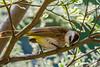 Birds-9134.jpg (ngkaiwa) Tags: bird bulbul home yellowventedbulbul singapore