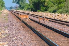 Twins (nikons4me) Tags: iowa ia deer fawn fawns doe railway tracks tamacounty nikond200 nikonafsdx18200mmf3556gifedvr railroad