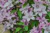 Clematis (frankmh) Tags: plant flower clematis viken skåne sweden