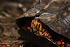 Shy (Bonnie Ott) Tags: easternboxturtle laurelquad explore explored northtract