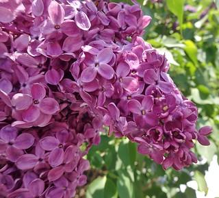 Lilacs, Royal Botanical Garden, Hamilton, ON