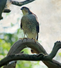 1S9A2295 (saundersfay) Tags: sparrowhawk predator prey raptor