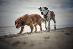 05/12 Edgar & Albert, always side by side (Jutta Bauer) Tags: beach together dogs 12monthsforedgarandalbert 12monthsfordogs edgaralbert