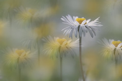 Past lives (charhedman - away for about two weeks) Tags: daisies echoes multiplelayers pastlives flowers happy yellow white spring macro bokeh