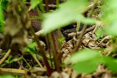 DSC00796.jpg (joe.spandrusyszyn) Tags: snake oaklandnaturepreserve vertebrate nature reptile animal scaledreptile unitedstatesofamerica serpentes lakeapopka squamata byjoespandrusyszyn florida orlando brownwatersnake watersnake nerodia nerodiataxispilota natricinae colubridae
