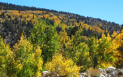 Gold in Them Thar Hills, Rock Creek Canyon, Sierra Nevada 10-16 (inkknife_2000 (9 million views)) Tags: mammothlakes rockcreekroad fallfoliage dgrahamphoto usa landscapes bluesky california sierranevada mountains aspentrees autumn