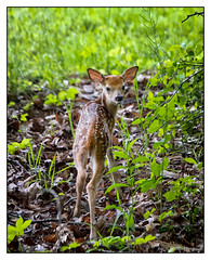 Making an Exit (GAPHIKER) Tags: deer fawn baby newborn woods notacat