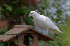 White pigeon on wooden feeder (Haqo) Tags: pigeon white
