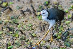 white-breasted waterhen (EdgarJi) Tags: singapore sungeibulohwetlandreserve animal nature wild bird