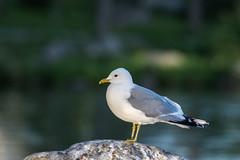 Relaxing (Jontsu) Tags: gull lokki suomi finland nature luonto nikon d7200 70200 nikontc14 tc14 bird lintu bokeh