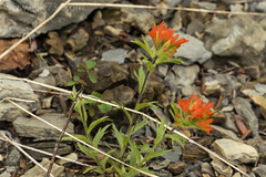 "Indian Paintbrush • <a style=""font-size:0.8em;"" href=""http://www.flickr.com/photos/63501323@N07/28669616998/"" target=""_blank"">View on Flickr</a>"