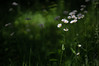 Just can't bring myself to mow this patch of the lawn. (koperajoe) Tags: lawn bokeh summer flowers greenery outdoors green understory helios44m woodland