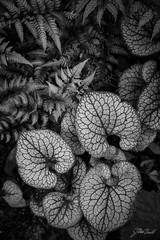 Chanticleer - June (Jen MacNeill) Tags: chanticleer gardens public pa garden gardening bnw bw blackandwhite plant plants nature fern ferns