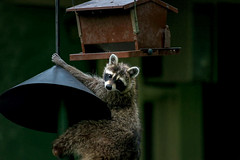 NothingToSeeHere (jmishefske) Tags: nikon june 2018 climb feeder nature center whitnall milwaukee franklin animal wisconsin park wehr raccoon bird d850