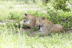 Leopard (Sheldrickfalls) Tags: leopard leopards luiperd sabisands nottensbushcamp krugernationalpark kruger krugerpark mpumalanga southafrica coth5