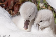 Just The Two Of Us (flipkeat) Tags: wildlife nature birds birdwatching swan cygnets back cute adorable babies portcredit mississauga awesome different closeup outdoors