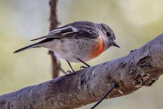 Scarlet Robin 2018-06-02 (7D_182A7434)