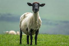 Shaun in Spring (JKmedia) Tags: boultonphotography sheep black face feels spring devon animal farm