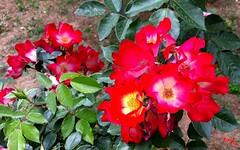 Fioritura - Flowering (rocco944) Tags: rocco944 taranto puglia italy zonapaolovi samsungsma320fl flickrunitedaward