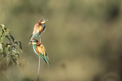 Bee-eater (Phil Gower Bird Photography) Tags: beeeater donana national park ornithology birding nature wildlife