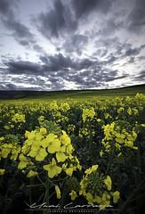 Amarillo primaveral (Fotografias Unai Larraya) Tags: colza plantacion paisajes ngc naturaleza colores navarra flores
