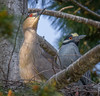 Minding the Nest 06.09.18 (in explore) (Lee J2) Tags: pennsylvania ephrata heron yellowcrowned nightheron nest canon eos7d tamron150600g2 tree