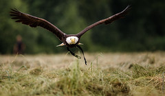 IMG_3192 (TvdMost) Tags: amerikaansezeearend baldeagle fotografieworkshop haliaeetusleucocephalus mo valkerijschaap birdofprey witkopzeearend roofvogel