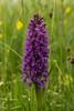Southern Marsh Orchid (l4ts) Tags: landscape derbyshire peakdistrict whitepeak hardrake hardrakehaymeadows southernmarshorchid sheldon